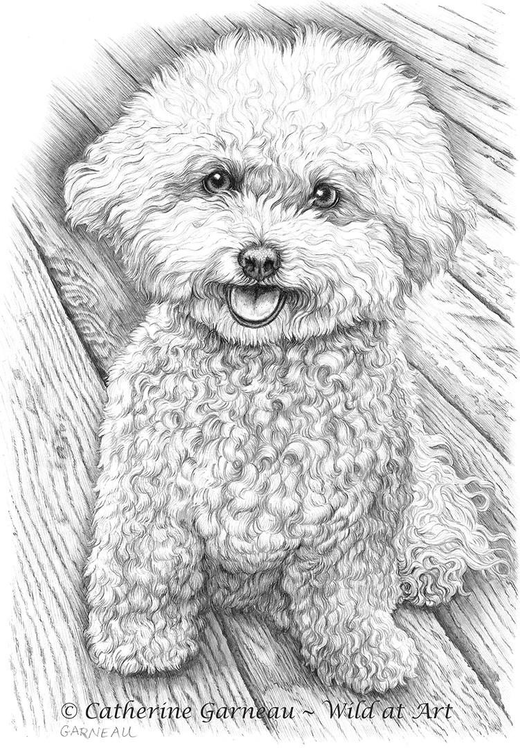 graphite portrait bichon frise hershey jpg