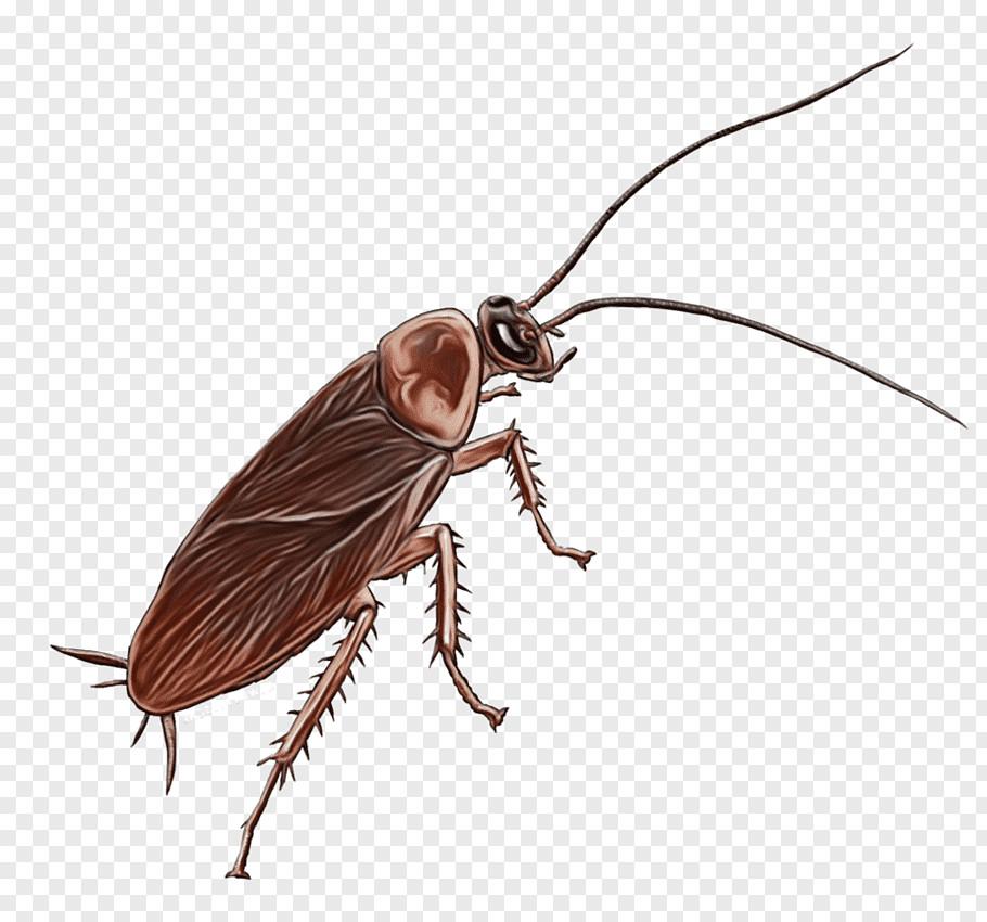 watercolor drawing paint wet ink cockroach pest german cockroach beetle blattodea png clip art png