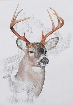 935c0db46cc50c4cc57b68d9b1114c97 deer pics white tailed deer jpg