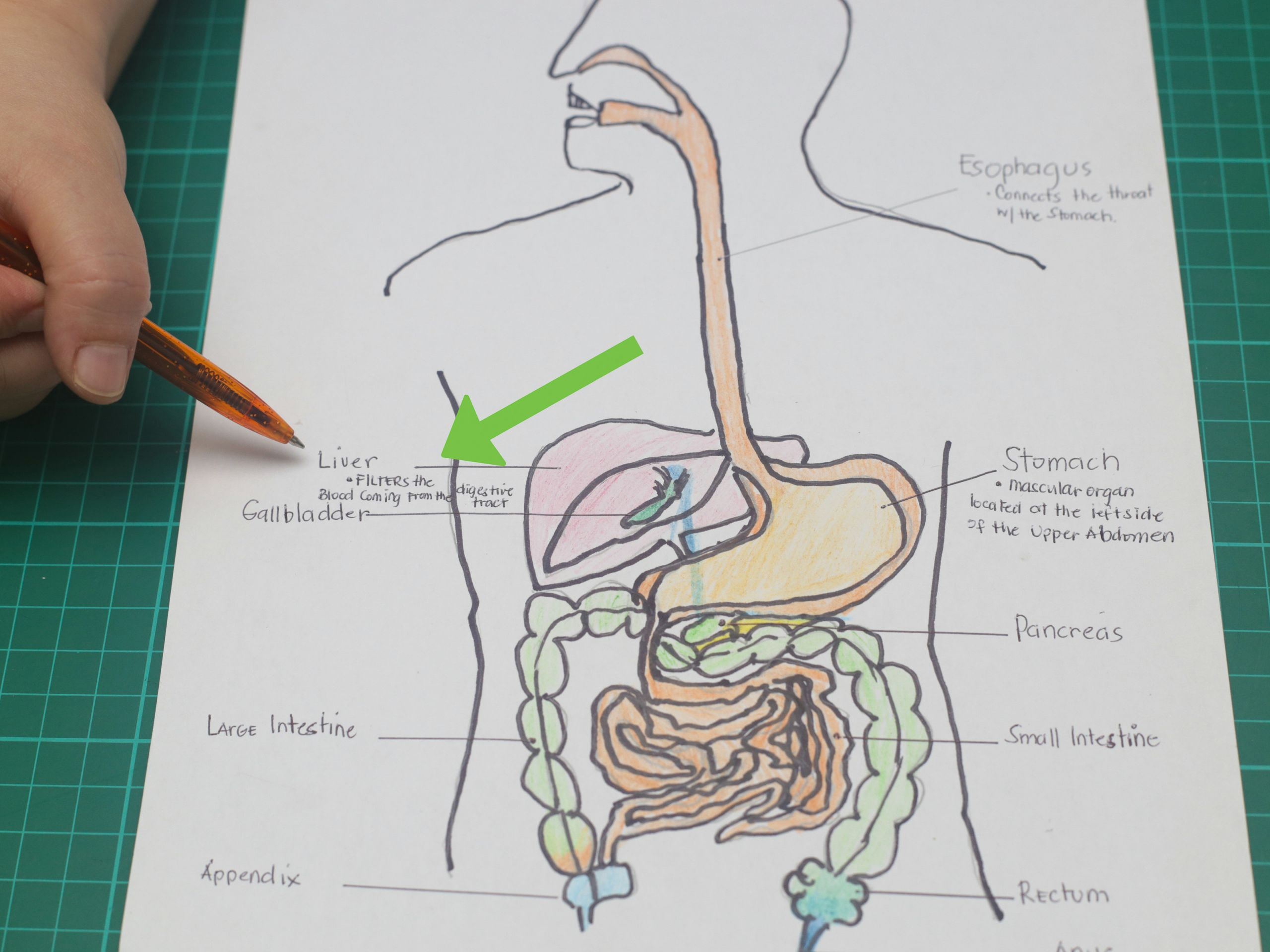 draw a model of the digestive system step 19 jpg