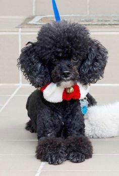 b50d9ca18abcf9fd25bb0f576f964552 black toy poodles french poodles jpg