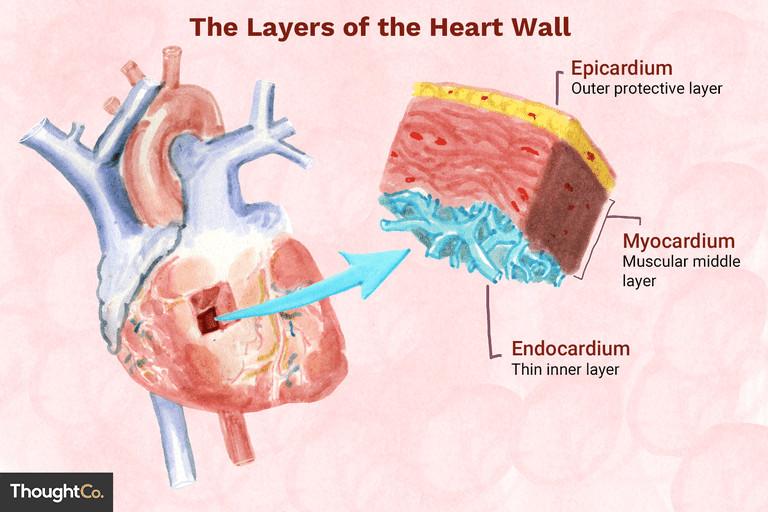 the heart wall 4022792 final ff0aca97377c4fe9aeef72b044138011 png