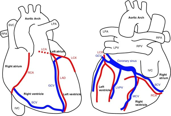anatomy of the heart and major coronary vessels in anterior left and posterior right png