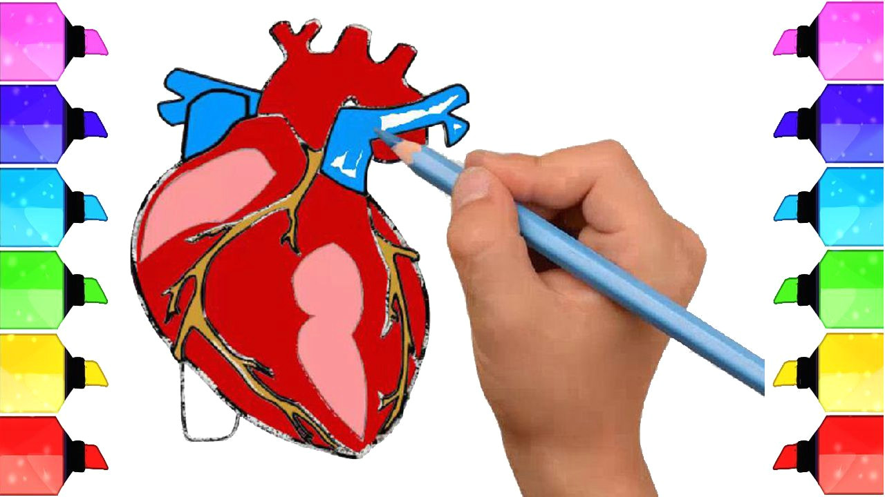 Heart Diagram Drawing Easy How to Draw Human Heart Anatomy Color Drawing for Kids How