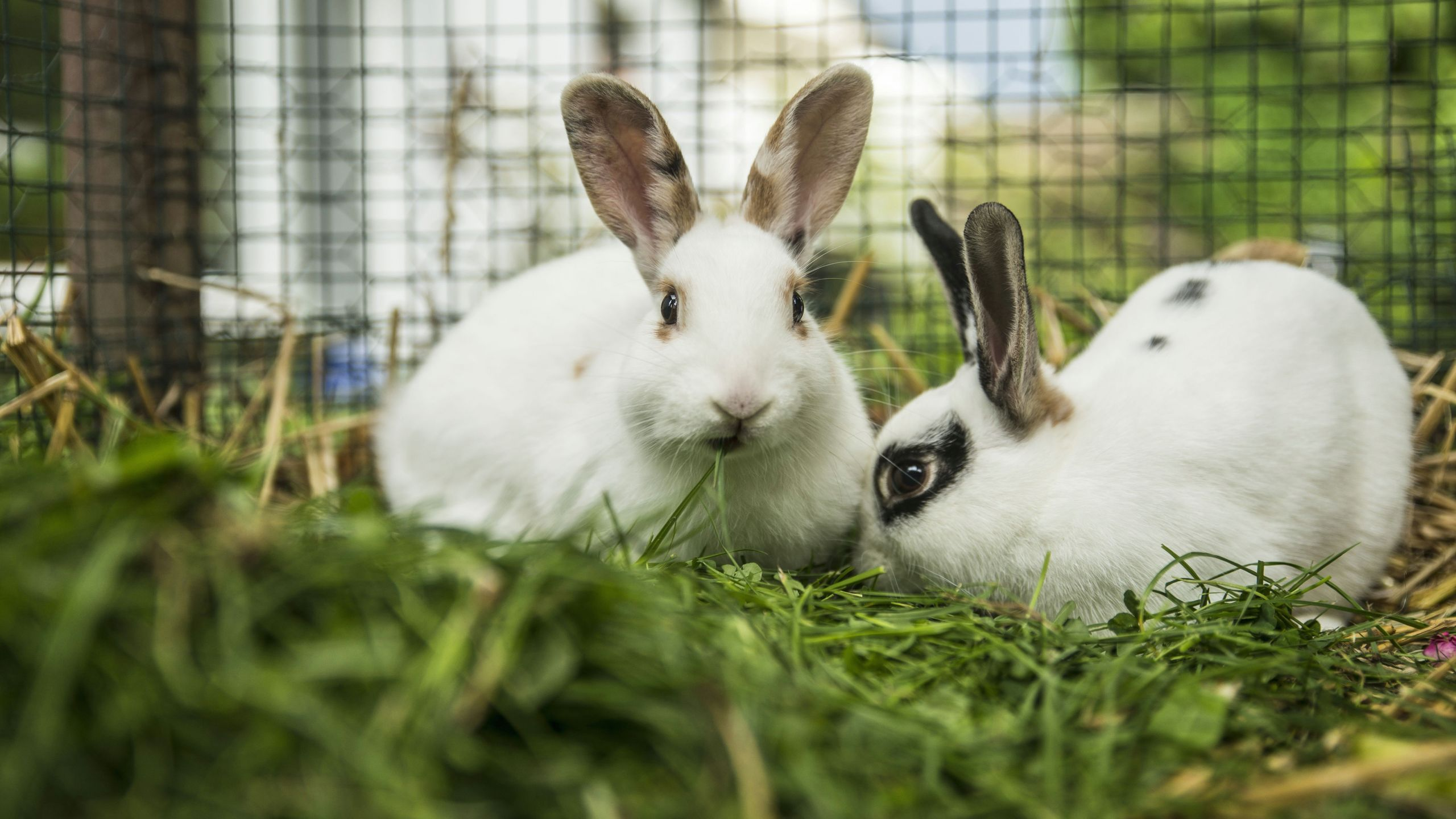 two rabbits in a cage on a meadow 670881045 58d3f3475f9b584683440676 jpg