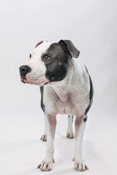 3ecc1faf9083ccdecc2325947996ee17 american staffordshire terriers studio jpg
