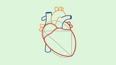 0d7091eb3b76df345f56ddba24cfc628 human heart how to draw jpg