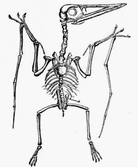 pterodactylus lydekker jpg