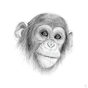 Jungle Drawing Easy Monkey Jungle Drawing A Chimpanzee Not Monkeying Around
