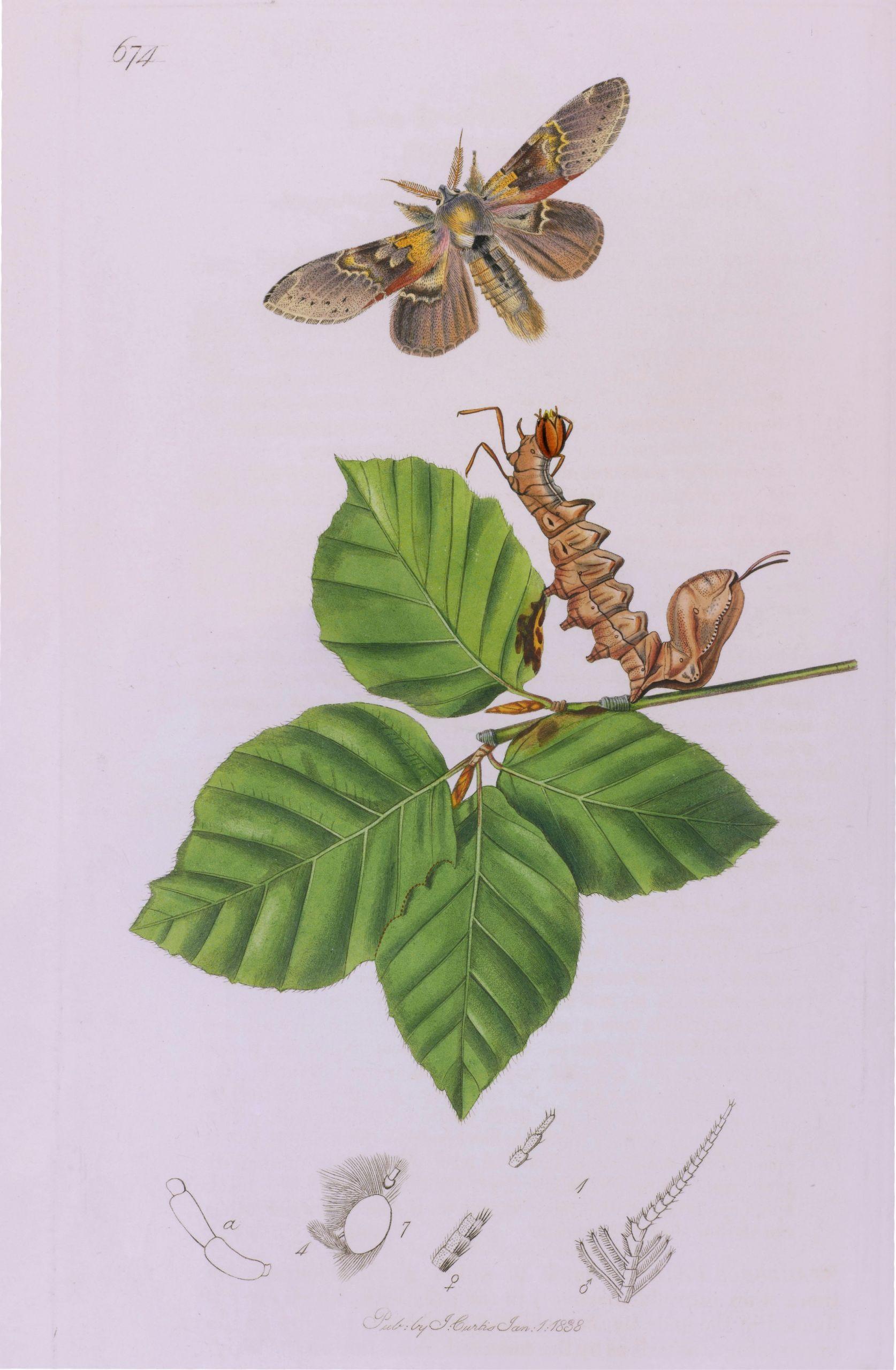 john curtis british entomology plate 674 lobster moth stauropus fagi jpg