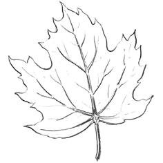 Maple Leaf Easy Drawing 13 Best Leaves Images Leaf Drawing Drawings Leaves Sketch