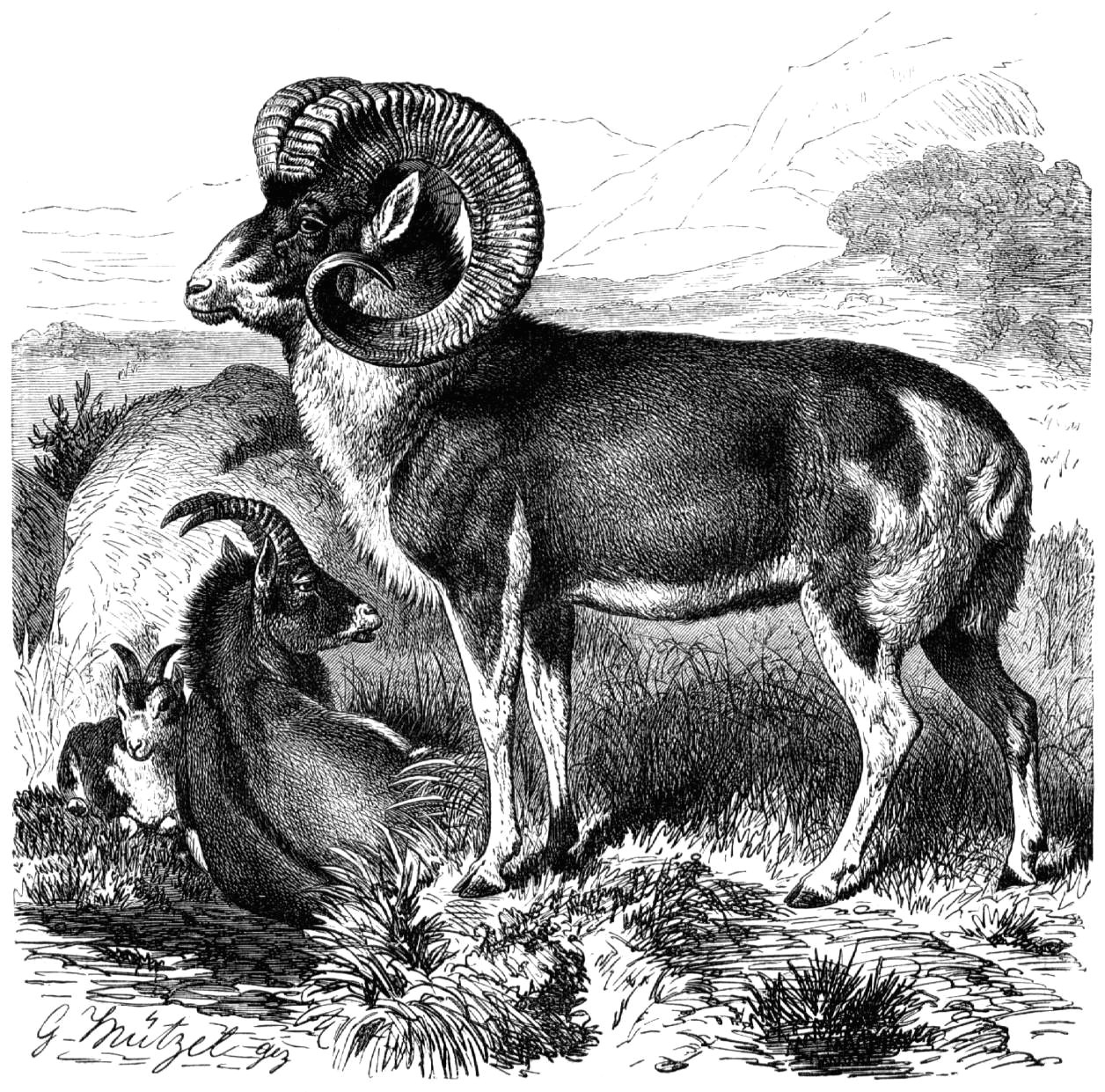 marco polo sheep line drawing jpg