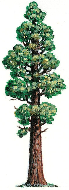 ab15301f580e95766d45339597174ebe sequoia tree drawing tree drawings jpg