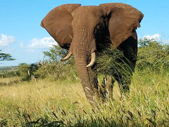 elephant in tarangire jpg