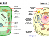 Animal Cell and Plant Cell Drawing Cellular organelles Google Search Animal Cell Plant