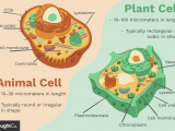 Animal Cell and Plant Cell Drawing Differences Between Plant and Animal Cells