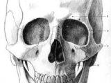 Basics Of Drawing Human Skulls 412 Best Drawing Human Faces Images In 2019 Drawing Faces Drawing