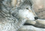 Charcoal Drawing Of A Wolf Colored Pencil Drawing Of A Wolf This is Magnificent Ink