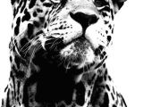 Cute Jaguar Drawing I Could See This as A Beautiful Pen and Ink Drawing for A Printed