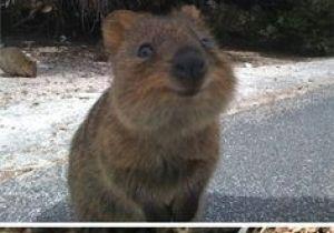 Cute Quokka Drawing 49 Best Quokka Images Happy Animals Cutest Animals Quokka