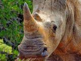 Cute Rhino Drawing 100 Best Rhino Images Rhinos Wild Animals Rhinoceros