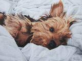 Dog Drawing Yorkie Print Of Yorkshire Terrier Drawing Yorkies Drawings Pencil