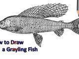 Dogfish Drawing Grayling Fish Drawing Drawing Drawings Fish Drawings Easy Drawings