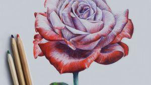 Draw A Rose Watercolor Drawing Rose Art Drawi