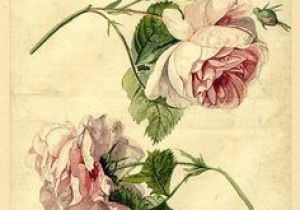 Draw An English Rose 318 Best Art Of Science and Nature Images Botanical