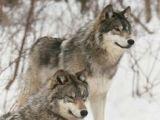 Draw Two Wolves island Die 141 Besten Bilder Von Wolf Hunde Wild Animals Wolf Pictures
