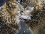 Draw Two Wolves island Die 2091 Besten Bilder Von Wolves In 2019 Wild Animals Wolf