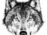 Draw Wolf Growling Drawing How to Draw A Angry Wolf Face with How to Draw A Wolf Face