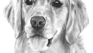 Drawing A Dog Golden Retriever Golden Retriever Drawing Goldenretriever Love Wrapped In Fur