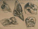 Drawing Animal Skulls Pin by Tessa Self On Skull and Bone Bird Skull Skull Animal Skulls