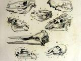 Drawing Animal Skulls Strange Antique original French Animal Skulls by Lyranebulaprints