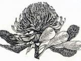 Drawing Australian Flowers Lynette Weir Botanicals Pinterest Botanical Illustration