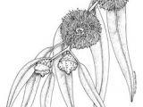 Drawing Australian Native Flowers 783 Best Australian Wildflower Paintings Images In 2019 Aussies