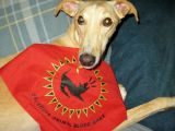 Drawing Blood From A Dog Jugular Luna A Galga Helps Save Lives In the U S Galgo Rescue