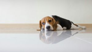 Drawing Blood From Dogs Excess Magnesium In the Blood In Dogs Petmd