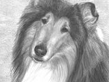 Drawing Collie Dogs Fella Portrait Commission This is A Graphite Pencil Drawing that I