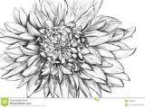 Drawing Dahlia Flowers 43 Best Inked Images In 2019 Drawings Dahlia Flower Tattoos