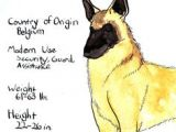 Drawing Dog Malinois 164 Best Dogs Belgian Malinois Images Belgian Shepherd Malinois