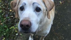 Drawing Eyebrows On Dogs Nothing More Fun then Drawing Eyebrows On Your Dog Labrador Love