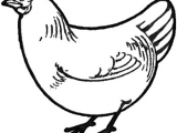 Drawing Of A Cartoon Rooster How to Draw Chickens Hens with Easy Step by Step Drawing Tutorial