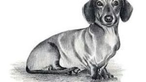 Drawing Of A Dachshund Dog 57 Best Chooch Images In 2019 Dachshund Dog Sausages Dachshund