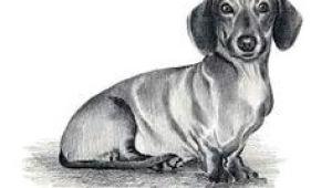 Drawing Of A Dachshund Dog 57 Best Chooch Images In 2019 Dachshund Dog Sausages Dachshund