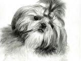 Drawing Of A Dog Biscuit A A Doge A A A O A A A C O O Pinterest Shih Tzu Dogs