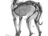 Drawing Of A Dog Skeleton 14 Best Dog Skeleton Images Animal Anatomy Dog Skeleton Drawings