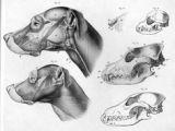 Drawing Of A Dog Skeleton 44 Best Animal Anatomy Images