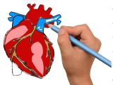 Drawing Of A Heart Human How to Draw Human Heart Anatomy Color Drawing for Kids How to Draw